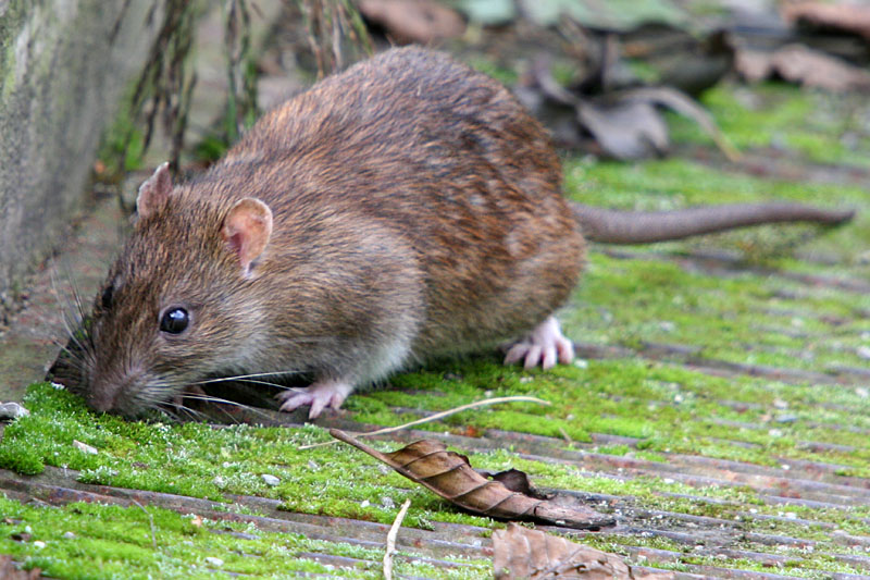 Watch out, it's rodent season