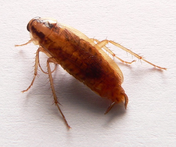 FACTSHEET: German Cockroach