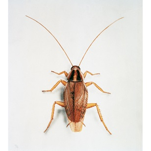Pests in Australia - German cockroaches. Advice from Progressive Pest Management