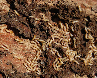 Pests in Australia - Termites. How to manage tips from Progressive Pest Management