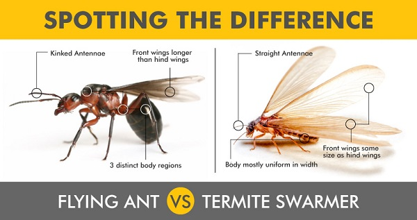 Swarming termites. Flying ant vs termite swarmer comparison